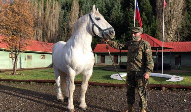 Los Ángeles: sujeto es detenido por la receptación de un caballo del Ejército de Chile