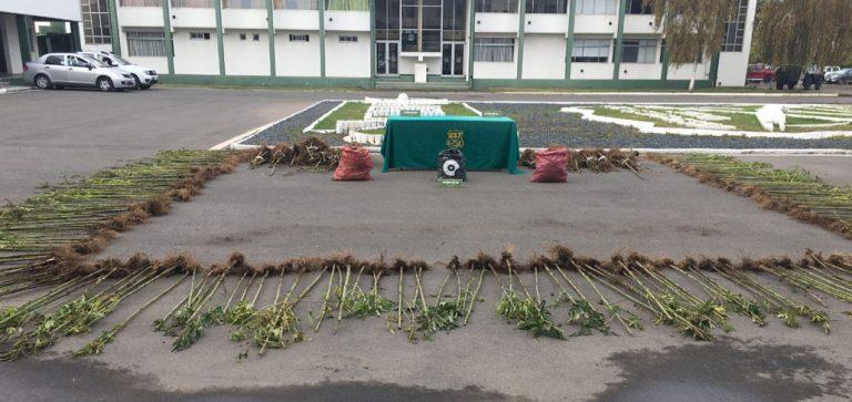 Incautan más de 248 mil dosis de marihuana destinadas a la Provincia de Concepción