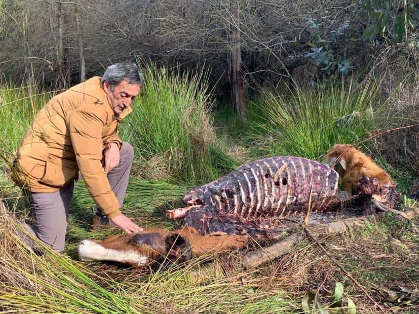 abigeato mulchén muerte animales