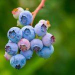 Poda en modo Covid: Industria de berries en el Biobío se prepara para el proceso
