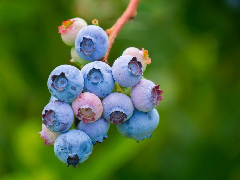 poda en modo covid biobio berries